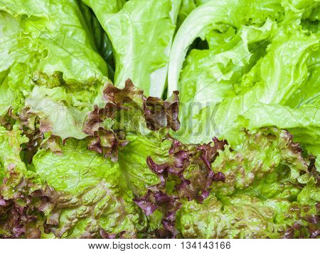 Leaves Of Lollo Rosso And Leaf Lettuce Close Up