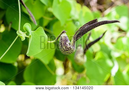 Exotic green flower striped black shaped like a chicken. It is an ornamental plant name is Aristolochia ringens Vahl or Dutchman's Pipe