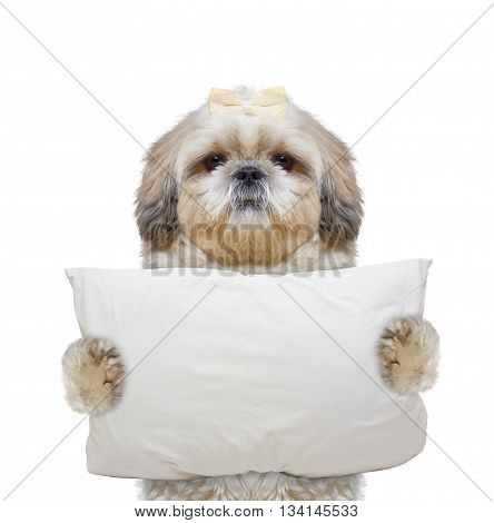 dog holds a pillow and going to sleep -- isolated on white