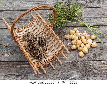 Bulbs Allium aflatunense in a basket and faded blossoms on a wooden background