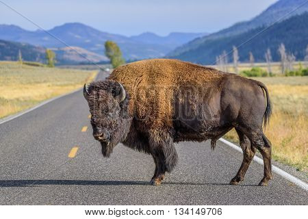 A large male bison blocking the road in Yellowstone National Park