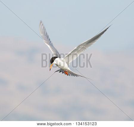Forster's tern (Sterna forsteri) inflight, wings spread.