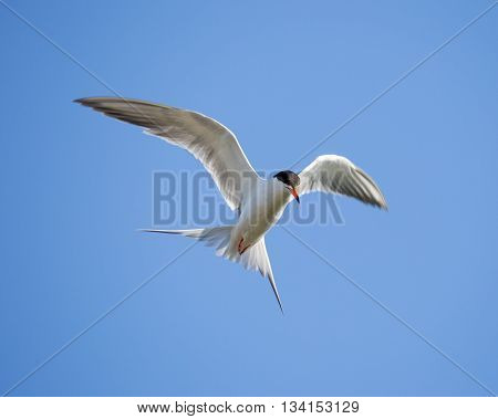 Forster's tern (Sterna forsteri) inflight, wings spread