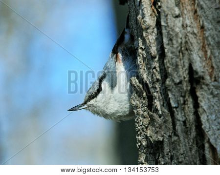 Eurasian nuthatch. The Eurasian nuthatch or wood nuthatch is a small passerine bird found throughout temperate Asia and in Europe.