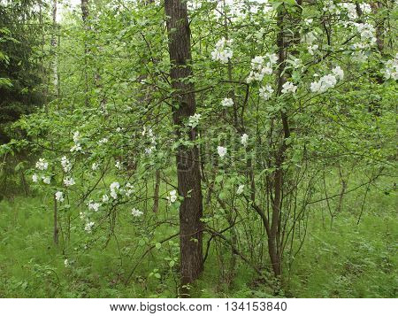 Blooming wild apple tree in a spring forest among the trees and bushes.