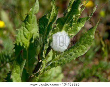 Froth cicada (Philaenus spumarius) larvae of the protective foam.