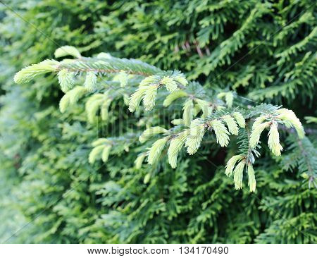 Tender new needles on spruce branches in early spring
