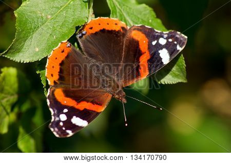 The admiral butterfly (Vanessa Atalanta) of green leaf.
