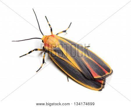 Colorful Painted Lichen Moth (Hypoprepia fucosa) on a white background