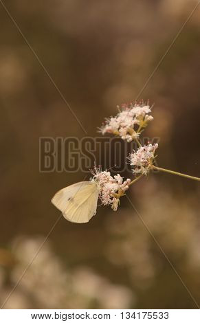 White cabbage butterfly Pieris rapae perches on a flower in Southern California to gather nectar in spring