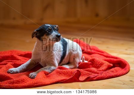 Cute eight week old bicolor the mongrel puppy lying on a red background of fabric.