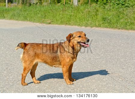 Cute female stray dog crossing the road.