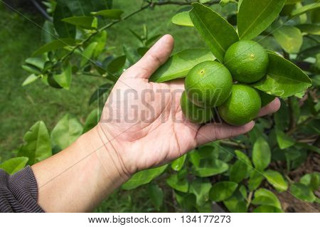 Green limes hanging on the tree Lime in hand.