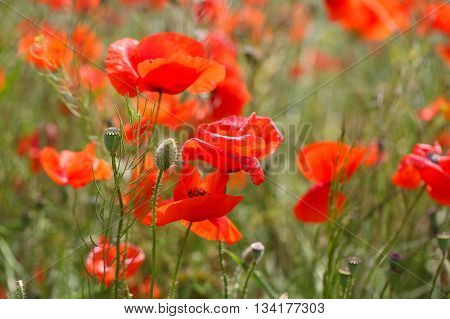 Flowers of common poppy (Papaver rhoeas) in a field.