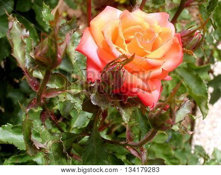Orange Rose with buds in Or Yehuda Israel