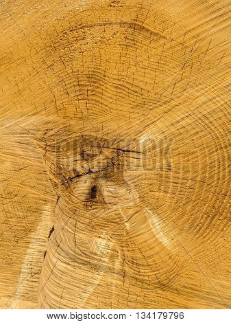 felled tree. annual rings on tree grate.