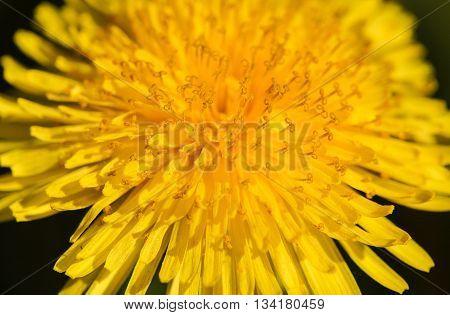 Macro of a dandelion in a backyard