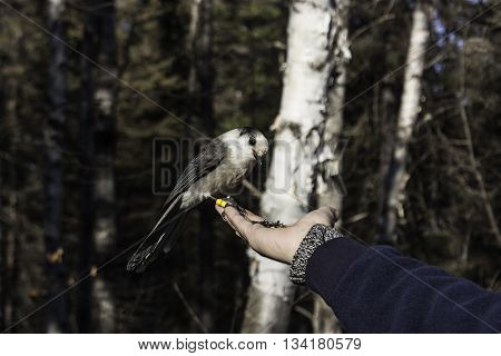 A grey jay eating seeds from a person's hand