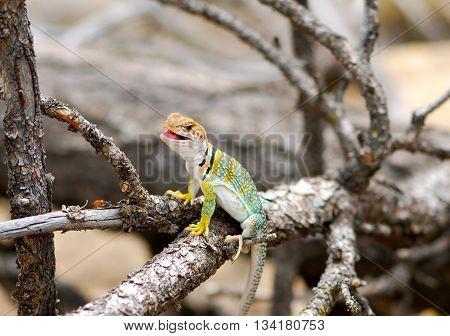 The Common Collard lizard sitting on a branch