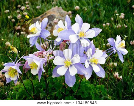 Colorado columbine flowers in alpine tundra of Rocky Mountain National Park