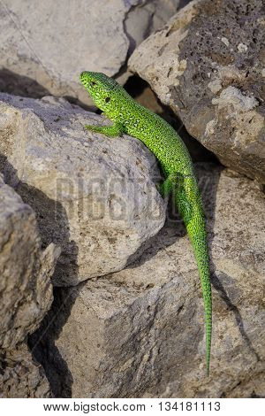 Little green lizard is basking on the stones
