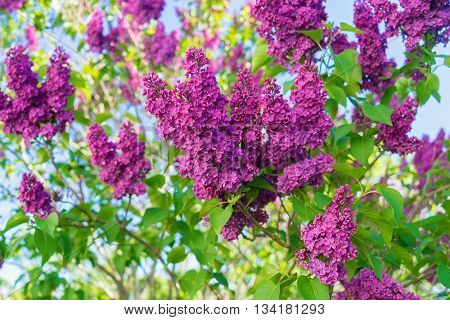 Beautiful French lilacs in the home garden.