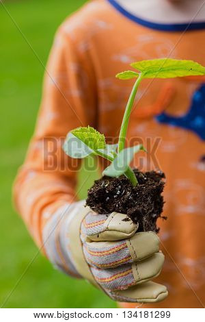 Child holding a zucchini plant ready to be planted in the home vegetable garden.
