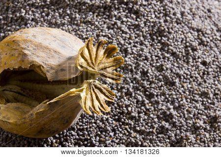 Poppy heads on the empty background of poppy seeds