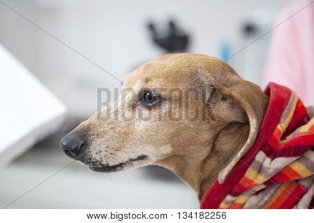 Dachshund Dog At Vet Clinic