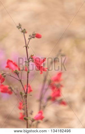 Bright pink desert penstemon flower, Penstemon pseudospectabilis, grows in a Southern California garden in spring.