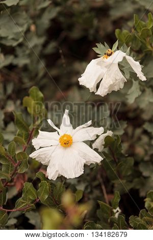 Large white Matilija Poppy Romneya flower blooms in a Southern California garden in spring.