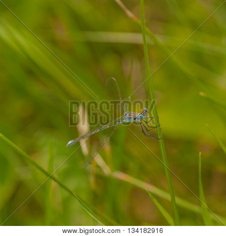 Macro of a blue damselfly holding onto a blade of grass.