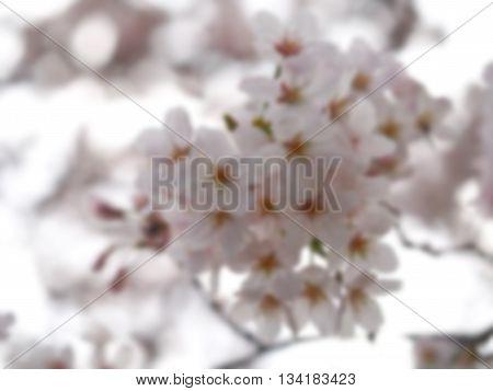 Blurry Sakura. Cherry Blossom in Springtime. Beautiful Pink Flowers