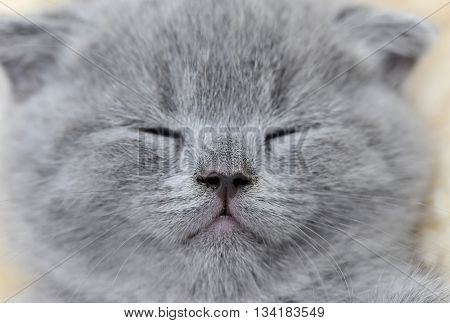 Close Gray Kitten Portrait