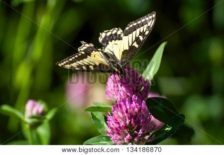 Swallowtail butterfly feeding on a purple flower