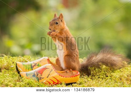 red squirrel standing on clogs in moss