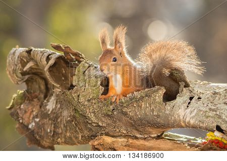 red squirrel standing in tree trunk in light