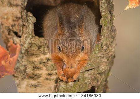 red squirrel standing in hollow tree with nut