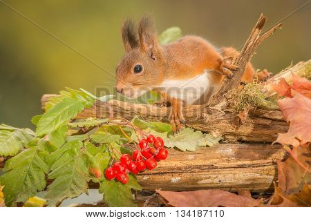 red squirrel  is standing on trunk with berries