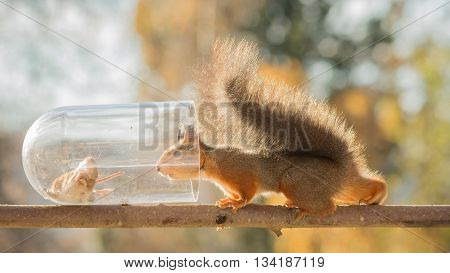 red squirrel standing on branch with bottle with mouse