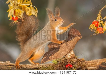 red squirrel is standing on mushroom with brier