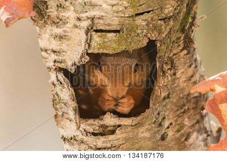 close up of red squirrel standing in hollow tree