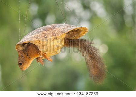 red squirrel in a turtle shell in the air