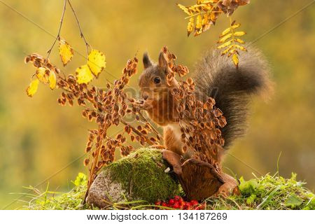 red squirrel standing between branches with seeds