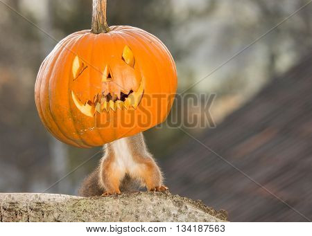 red squirrel standing on a tree trunk with a pumpkin face