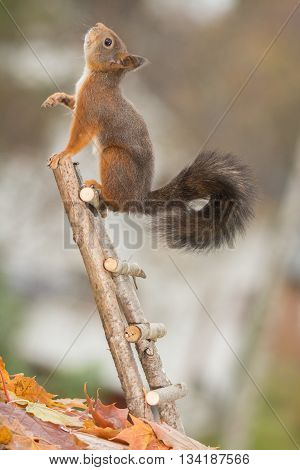 red squirrel is standing on stairs looking up