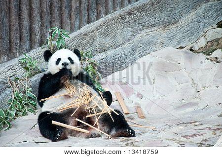 觅食的时间。大熊猫