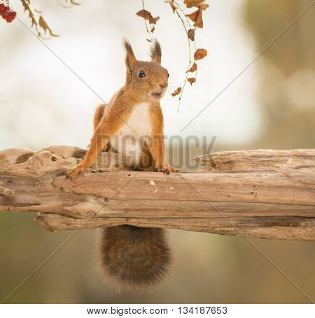red squirrel standing on branch with leaves