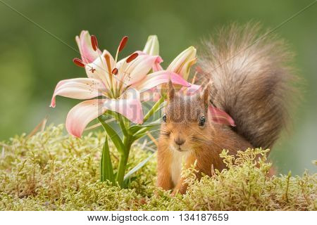 red squirrel is standing with lily flowers