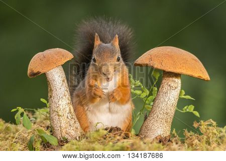 red squirrel is standing between mushrooms on moss